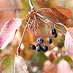 Nannyberry fruit