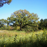 White Oak on Central Hill