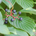 Pagoda dogwood fruit