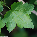 Prickly Gooseberry leaf