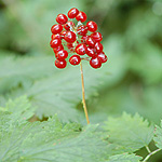 Red Baneberry red fruit