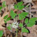 Red Baneberry leaf