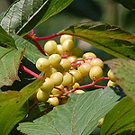 Redosier dogwood fruit