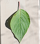 Red Osier Dogwood leaf