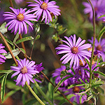 Western Silver Aster