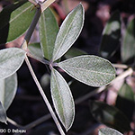Silvery Scurf Pea leaf