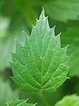 Southern Arrowwood leaf