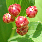 Starry False Solomon's seal fruit