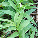 Starry False Solomon's Seal leaf