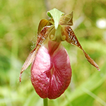 Stemless Lady's-slipper