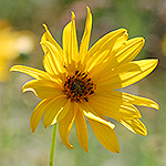 Stiff Sunflower
