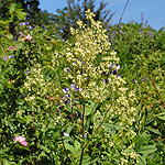Tall Meadow Rue
