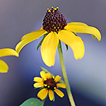 Thin-leaved Coneflower
