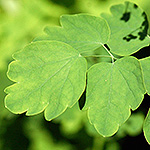 Veiny Meadow Rue leaf
