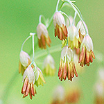 Veiny Meadow Rue