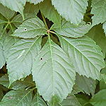 Grape Woodbine leaf