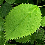 Wood Nettle Leaf